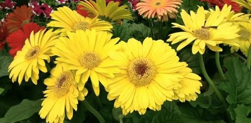 Read on for tips on how to propagate and grow Gerbera daisies from seed in your garden.