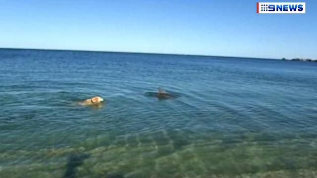Dolphin 'plays' with Golden Retriever off WA beach  - 9news.com.au