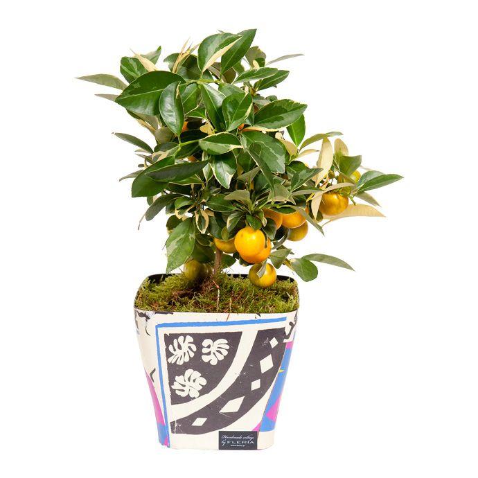 handmade collage pot with kumquat tree www.fleria.gr