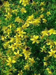 Το e - περιοδικό μας: Βαλσαμόχορτο, το δώρο της φύσης