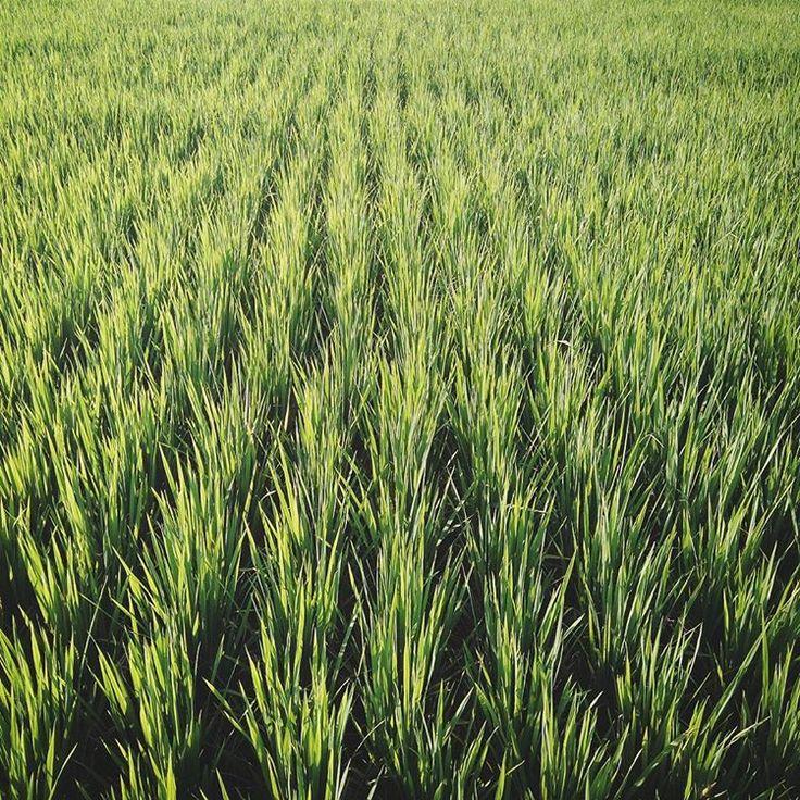 #ricefield #rice #green #field #ricepaddy #Bali #Indonesia