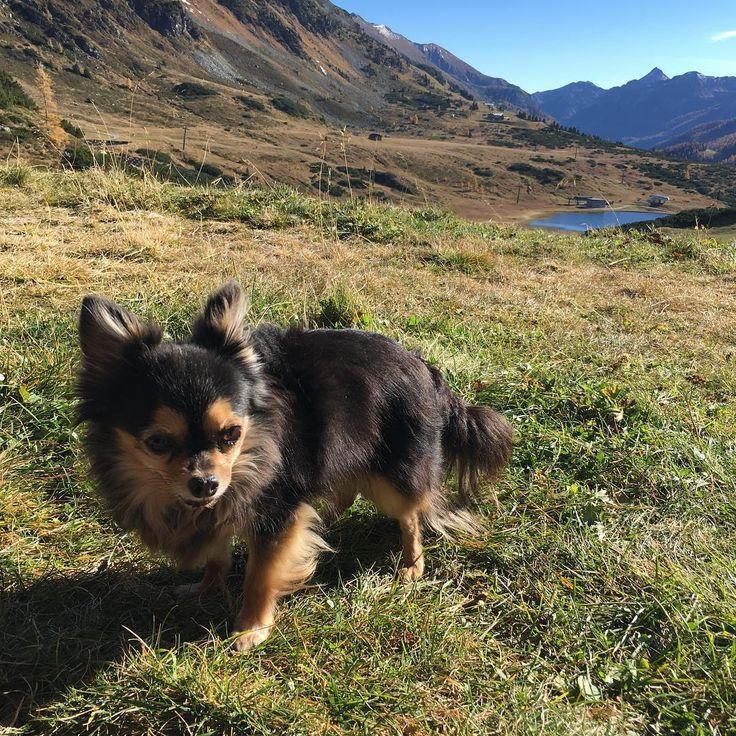 Leben wie ein junger Hund: #Chihuahua Prissy in #Obertauern
