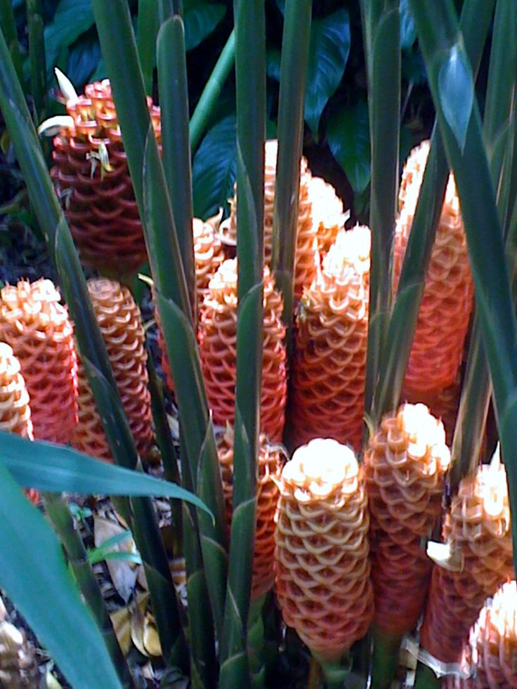 Beehive Ginger flowers at The Ginger Factory, Sunshine Coast, Queensland