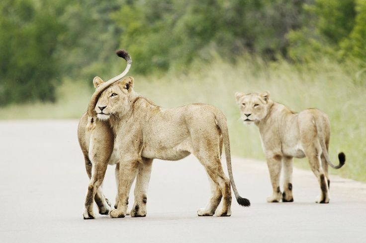 Affection by Tracy Wilkin on 500px. Lions, Lioness, Kruger National Park, Safari, South Africa, wildlife.