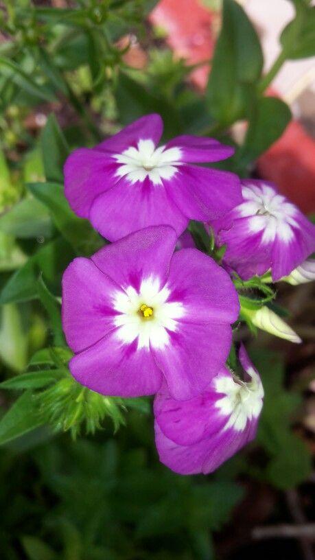 Flores púrpuras bicolor 3