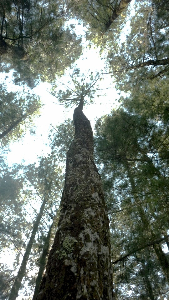 Old trees in Lembang, Bandung West Java