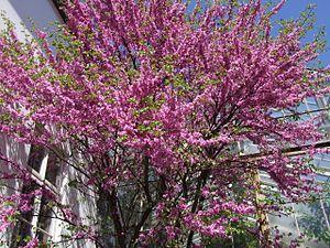 """""""Der Gewöhnliche Judasbaum (Cercis siliquastrum), auch kurz Judasbaum genannt, ist eine Pflanzenart aus der Gattung der Judasbäume (Cercis) in der Familie der Hülsenfrüchtler (Fabaceae). Sie ist in Südeuropa sowie Vorderasien heimisch und wird als Zierpflanze verwendet.""""  Gewöhnlicher Judasbaum (Cercis siliquastum)"""