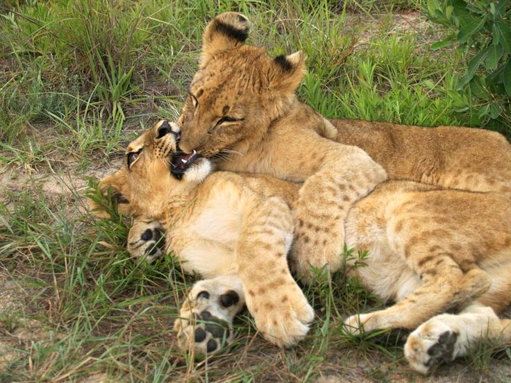 Could these Antelope Park cubs be any cuter? We think not.