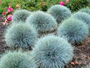 Blue Festuca - one of the most beautiful and eye-catching of all ornamental grasses, it thrives in almost any garden conditions. Steel-blue foliage, hardy, perennial grass forms tufts of metallic-blue fine foliage from early spring through late fall and even into winter. Festuca takes intense heat and drought without losing its blue color and makes the perfect addition to patio and container gardens