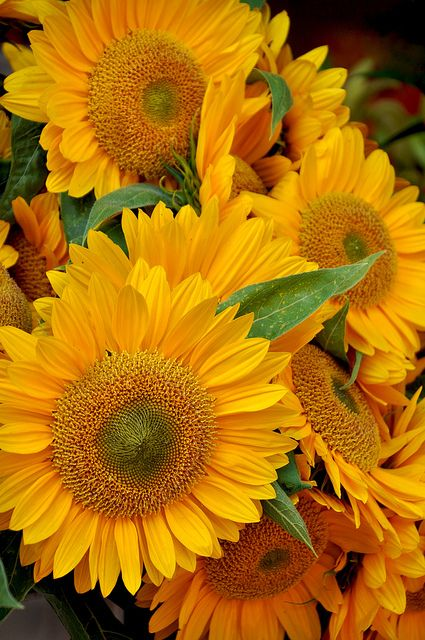 Sunflowers - my favourites!