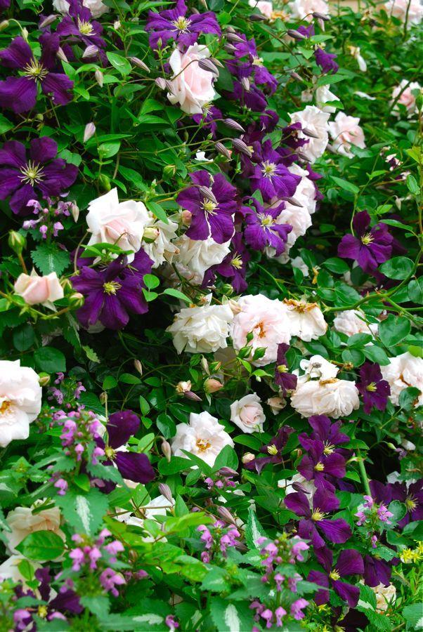 Cottage Garden Pink Rosa Clematis Viticella Etoile