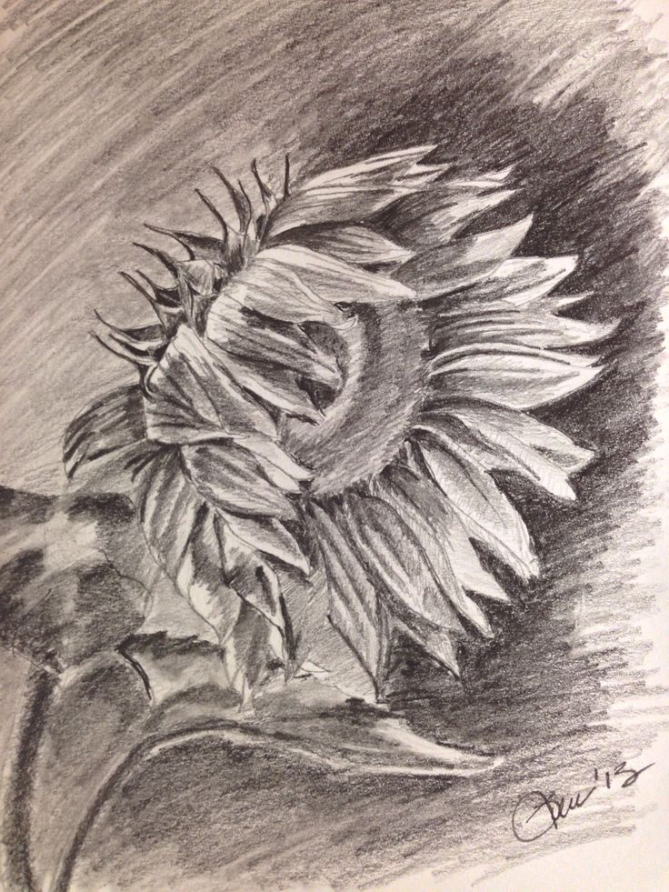Sunflower drawings in pencil