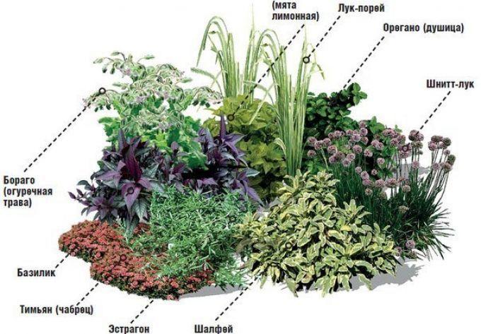 Пряные травы в огороде | Центр профессионального развития «Альянс»