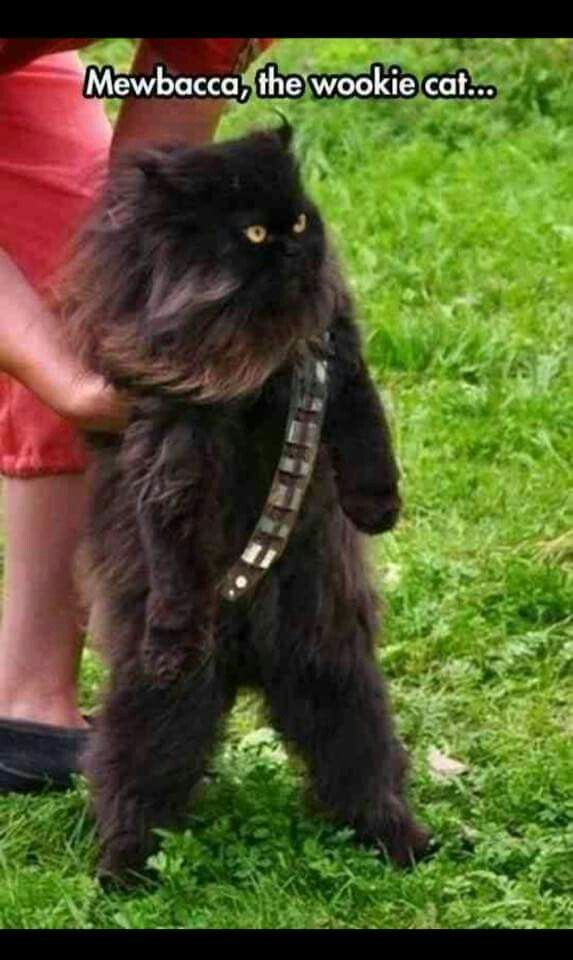 Mewbacca the Wookie cat