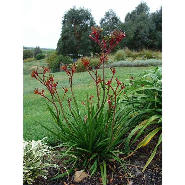 Plant-anigozanthos 170mm Regal Velvet