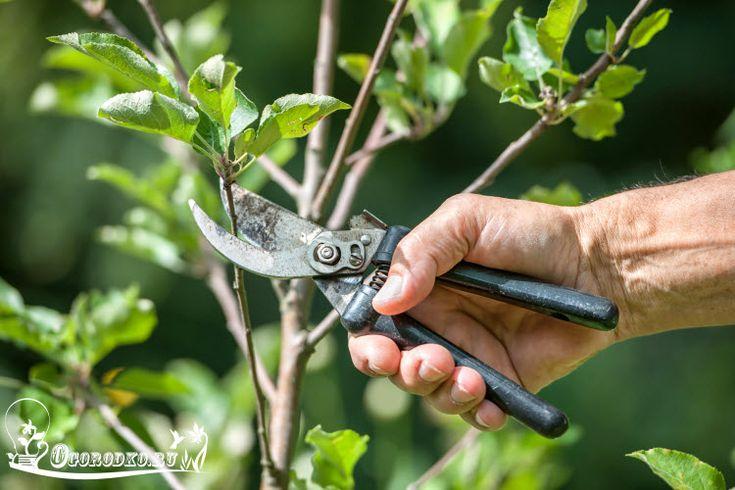 Узнайте, как обрезать яблоню, чтобы она плодоносила. Формирование кроны яблони, обрезка старой и молодой яблони, обрезка яблони при посадке и после посадки, как обрезать яблоню однолетку и двухлетку
