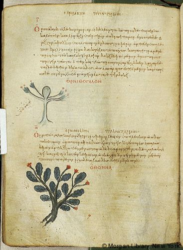 De materia medica, MS M.652 fol. 119v - Images from Medieval and Renaissance Manuscripts - The Morgan Library & Museum