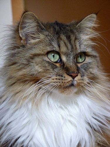 Maine Coon Perser MIX Laila Cat