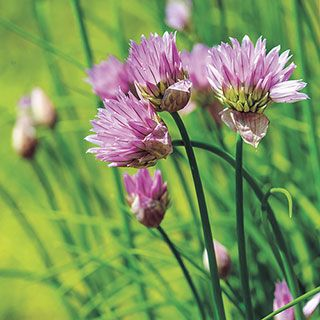 Organic Chives Seeds