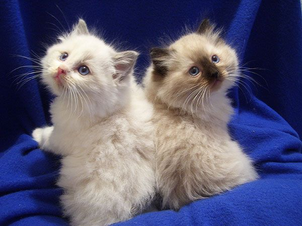 Rag Doll Kittens My Neighbor Had 2 But Had To Take Them To Her Mom And Try We Re Soo Cute In 2020 Cute Cats Ragdoll Cat Ragdoll Kitten