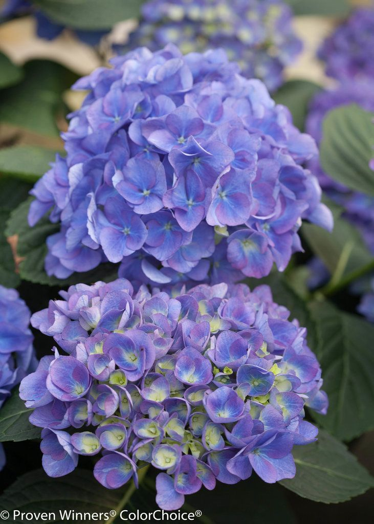 Hydrangea Macrophylla Cityline Rio Small To Medium Sized Early Blooming Hydrangea With Larg Hydrangea Not Blooming Hydrangea Macrophylla Hydrangeas For Sale