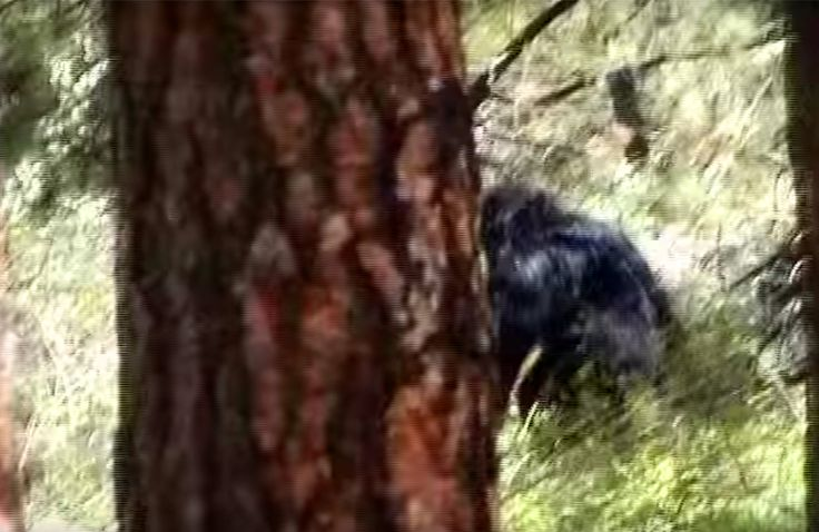 VIDEO STILL: The Harley Hoffman footage. Very interesting. http://bigfootbase.com/bigfoot-evidence/14-compelling-bigfoot-videos/2016/