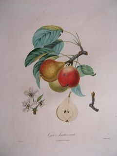 Pears, Gros hativaau Turpin 1835. Stipple engraving printed in color. Langlois 1835. 540 x 360 mm