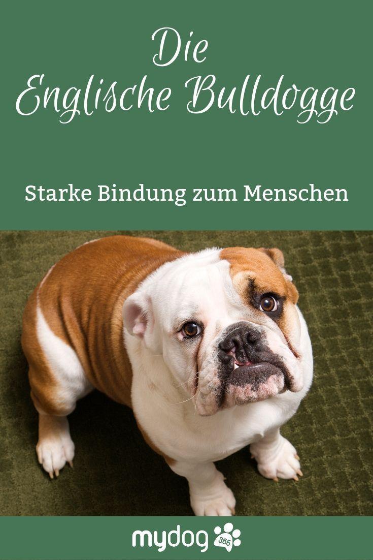 Englische Bulldogge Ein Lamm Im Wolfspelz Mit Bildern