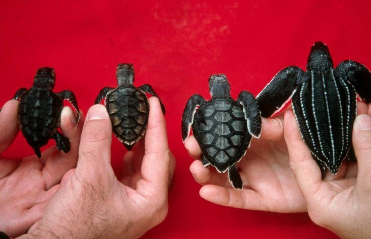 Cool picture depicting four different species of seaturtle hatchlings. #babyseaturtles (L to R) Loggerhead, Hawksbill, Green, Leatherback #babyseaturtles #oceanconservation