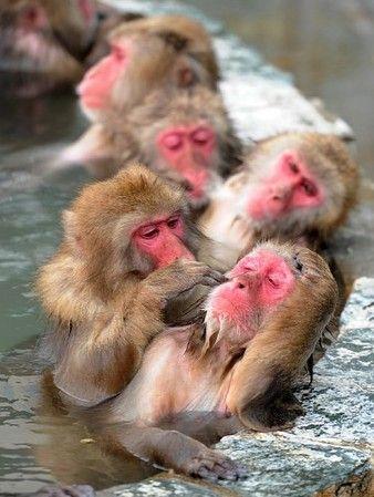 <サル山温泉>97匹、至福のひととき 北海道・函館 あやかりたい。
