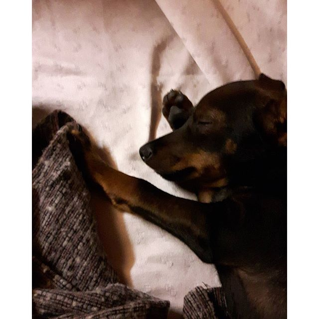 Good night #instanimal #moka #pou #pincher #pinscher #ilovedog #instadog #instapets #dogstagram #minipin #miniaturepinscher #f4f #followforfollow #minipinstagram #papillon #미니핀#モカ#ぽう#ミニピン#ミニチュアピンシャー#パピヨン#犬#愛犬 #🐕 #🐶 #☺ #❤ #💙 #😘