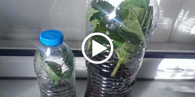 Pet Şişede Ortanca Çoğaltma Videolu Anlatım