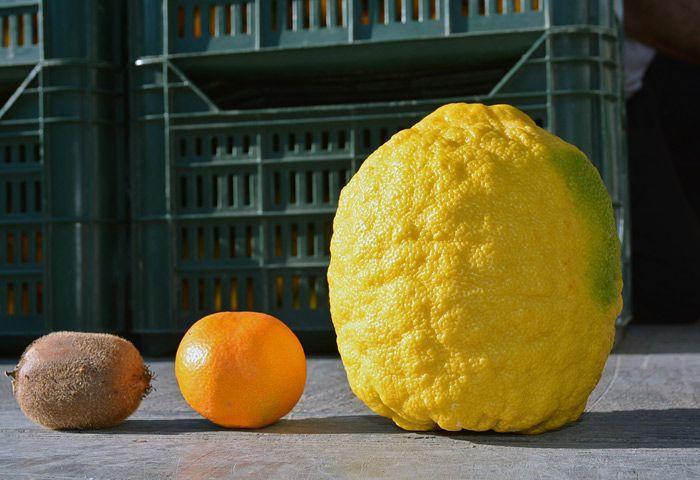 Гигантский лимон весом 12,5 кг вырастили в Хорватии