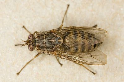 Protect Health.......Protect Life: Family Muscidae..Genus Glossina (TseTse Flies)