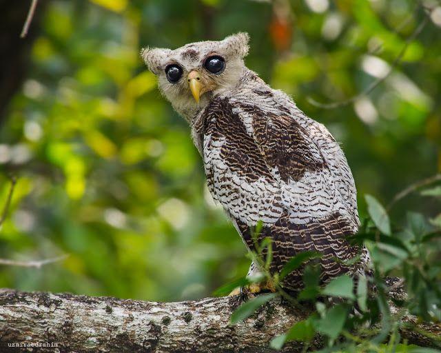 Burung Keliling Rumah: Burung Hantu Jalur (Barred Eagle Owl)