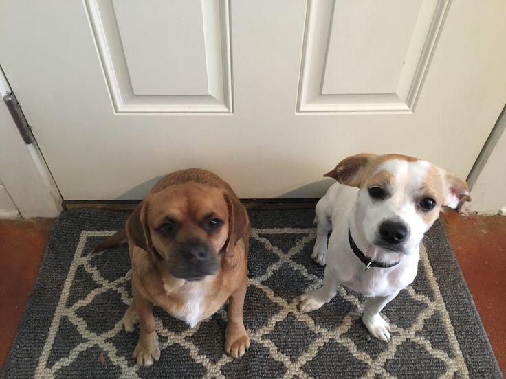 Reddit meet Ringo and Sampson! Ringo is a pug/beagle mix and Sampson is a chihuahua/beagle mix they are both rescue dogs!