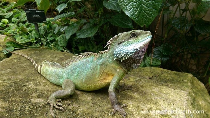 Here's one of the wonderful water dragons that reside inside the Princess of Wales Conservatory, at the Royal Botanic Gardens, Kew.