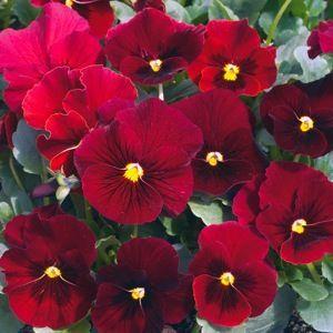 Penny Red Blotch viola seeds - Garden Seeds - Annual Flower Seeds