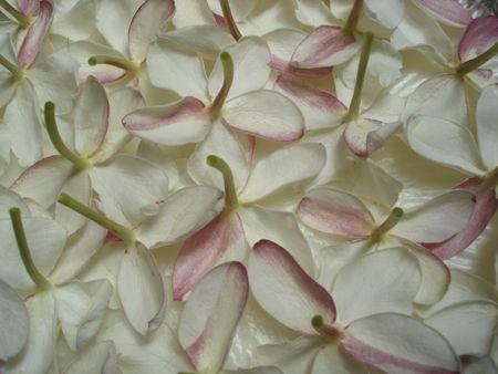Enfleurage 101 - how to extract the scent of jasmine, tuberose, frangipani etc