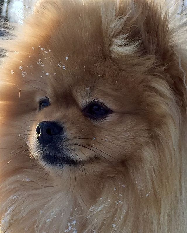 dapple pomeranian 1000 ideas about pomeranian chihuahua on pinterest 8329
