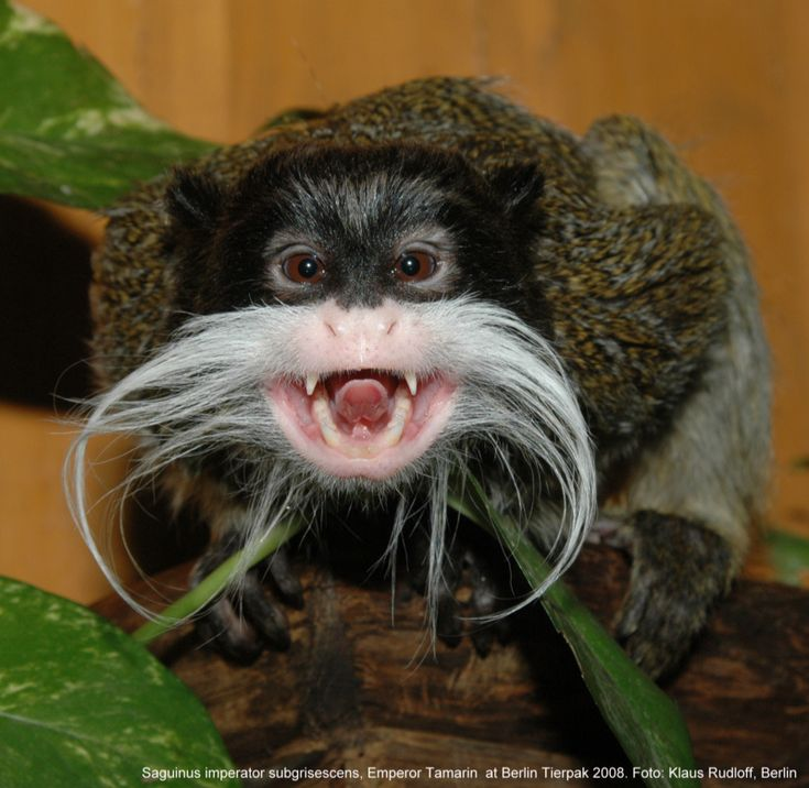 a study on the emperor tamarin monkey in eastern peru Lucky is the third emperor tamarin to be born at the zoo in 2014, and we are delighted to welcome him to the belfast zoo family emperor tamarins are found in the tropical rainforests along the amazon river in peru, brazil and bolivia.