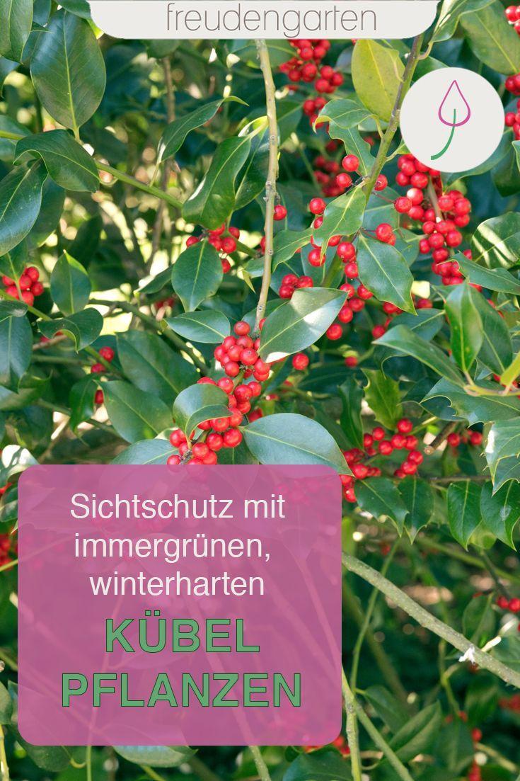 Immergrune Kubelpflanzen Mit Bildern Kubelpflanzen Pflanzen Kubelpflanzen Winterhart
