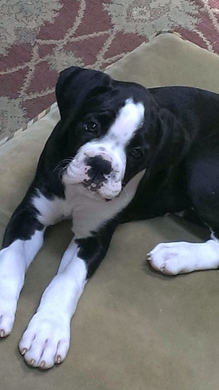boxer pups are my favvv This is my baby, Hudson Kampbell Grantham! - BillieJo Grantham