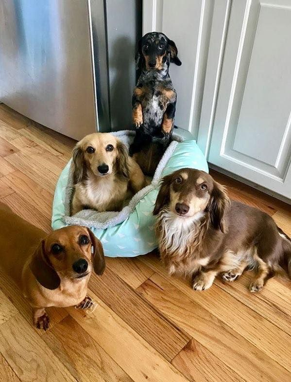 Dachshunds Come In 3 Different Coat Types Like Smooth Longhaired