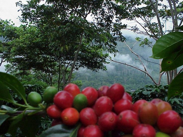 Llenado de los granos de Café