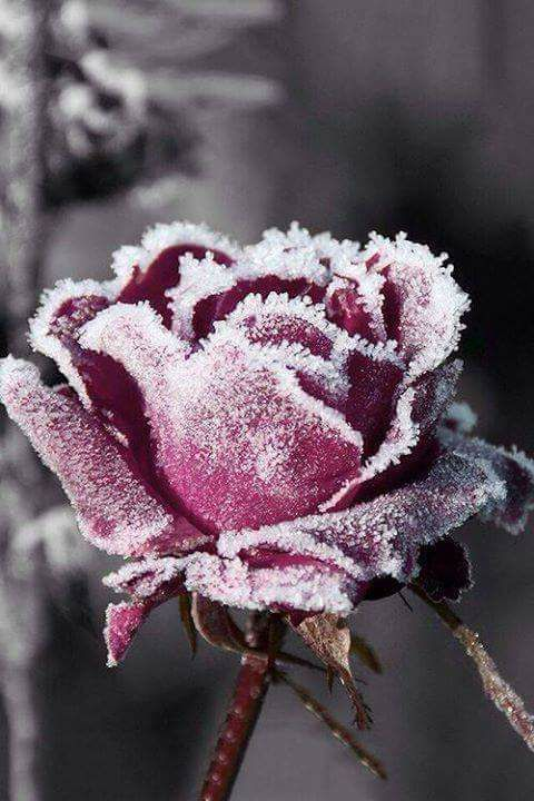 The red rose look so lovely with the frost from