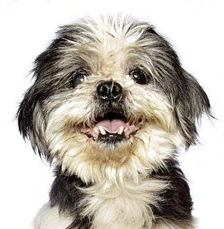 Oakland Park, FL - Shih Tzu Mix. Meet Gizmo, a dog for adoption. http://www.adoptapet.com/pet/17307725-oakland-park-florida-shih-tzu-mix