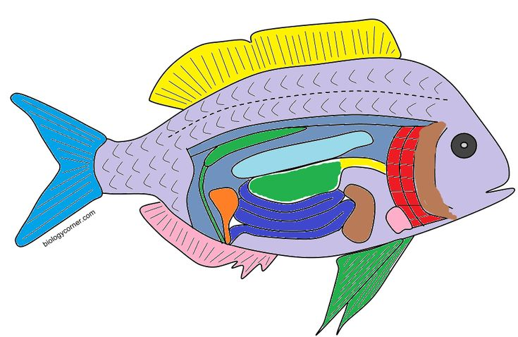 The Anatomy of a Bony Fish   Animal skeletons, Biology ...