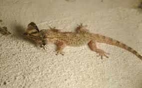 شركة مكافحة الوزغ Lizard Gecko Animals