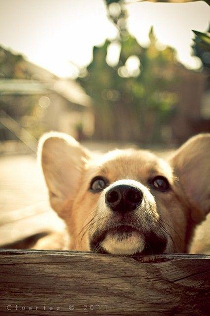 Corgi: Corgis, Favorite Pets Animals, Modernpetproducts Cutedogs, Corgi S, Puppy, Corgi Animals, Little Dogs, Friend